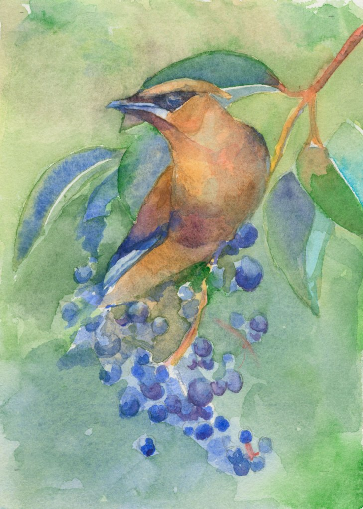 "Cedar Waxwing on Privet 5"" x7"" watercolor on Arches #300 © 2014 Margaret Sloan"