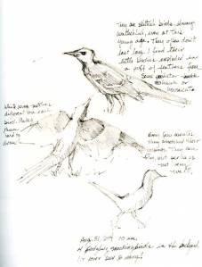 Sketch of mockingbirds