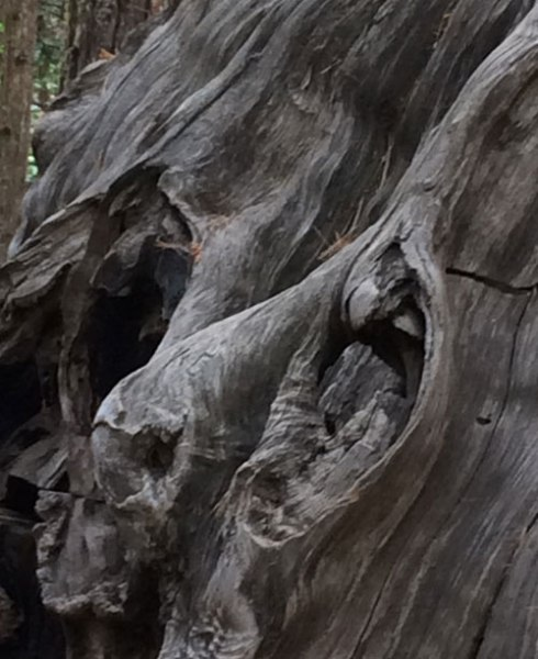 The burls (or eyes) of a dead Sequoia