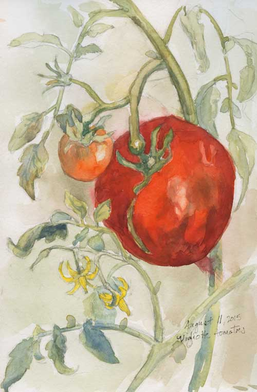 Field sketch of Vogliotti tomato Graphite and watercolor in Stillman & Birn Delta Series sketchbook