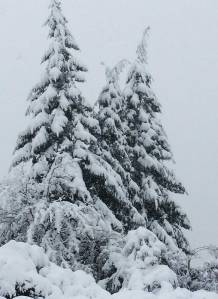 Cedars in snow