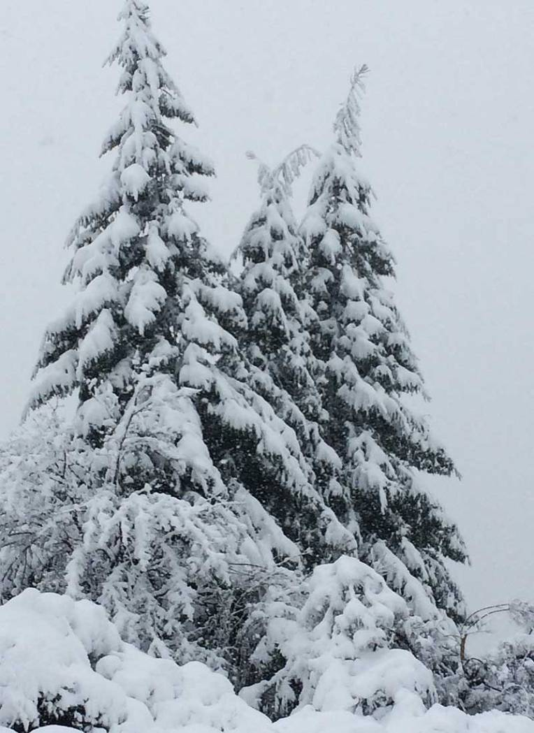 Cedars in snow